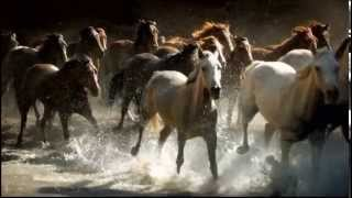 BEAUTIFUL WILD HORSES RUNNING