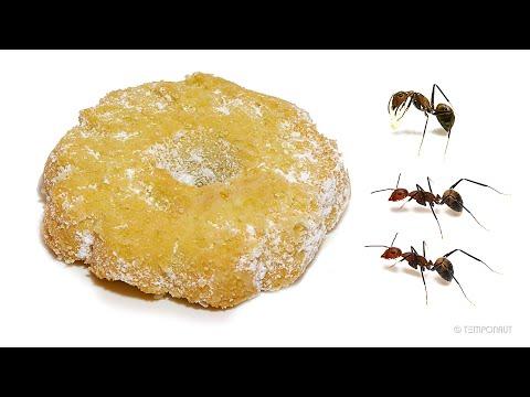 Borasio - Christmas Cookie + Ants + Time Lapse = AMAZING !