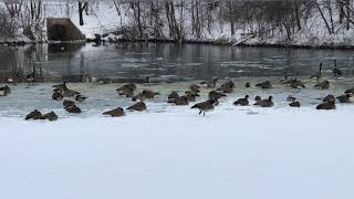 Beautiful winter capture wİth the sight and sounds of Canadian Geese on the icy water (loop)