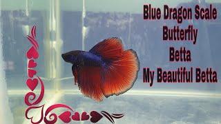 Blue Drgon Scale Butterfly Betta || Shot on Samsung Galaxy S10+ || Films by Faisal Ekram