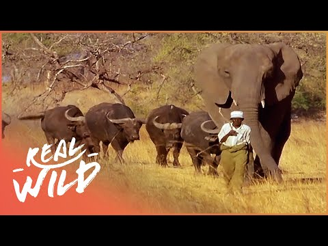 The Elephant That Thinks She's a Buffalo | Wild Things