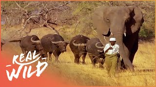 Incredible Elephant Thinks She's a Buffalo | Real Wild Documentary
