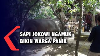 Detik-Detik Sapi Jokowi Ngamuk, Bikin Warga Panik