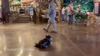 Best Dog Training Toledo, Ohio! 1 Year Old Pomeranian, Fin