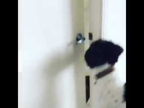 Hugo the Labradoodle opening the door.. 8 mths old