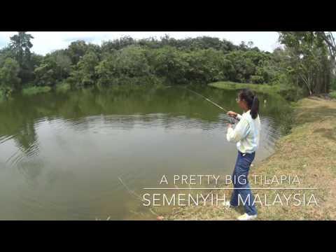 Tilapia - PB Semenyih Pond, Malaysia