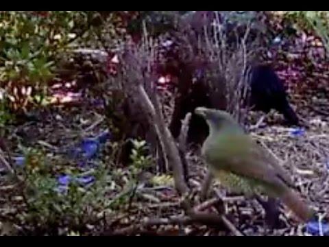 20170507 green bowerbird afternoon