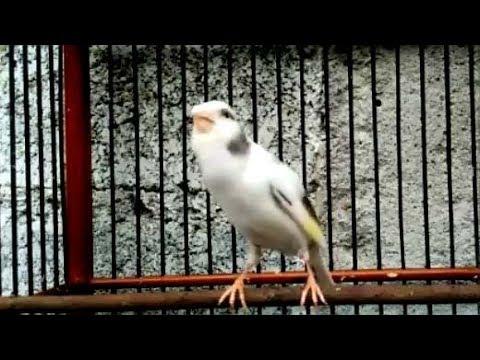Download Lagu Burung Kenari Panda Gacor Buat Master
