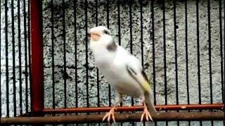 Download Video Burung Kenari Panda Gacor Buat Master MP3 3GP MP4