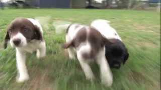 "Charity Auction For Nsw Police Legacy - ""b"" Litter Springer Spaniel Pups"