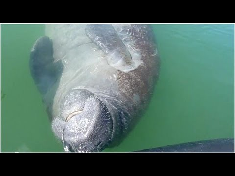 Cute Florida manatee rolling over