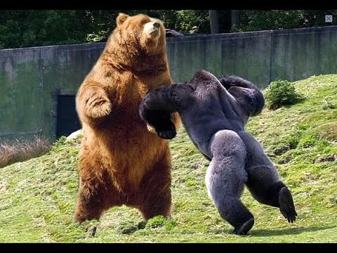 COUCHFLY (EPISODE #9) GrizzlyBear vs SilverBack?!? Medieval Wizard Thief Is The Life For ME!