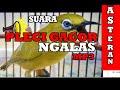 Masteran Suara Burung Pleci Gacor Ngalas  Mp3 - Mp4 Download