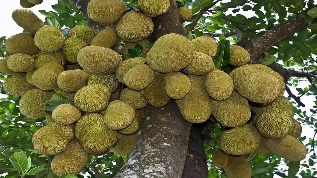 Какие меры предосторожности при поедании тайских фруктов. Фрукты тайланда: дуриан, рамбутан, мангостин (описание, фото, цена, как есть).