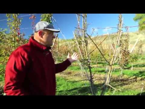Pruning Bartlett Pear to Optimize Fruit Quality