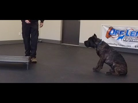 Best Dog Training in Columbus, Ohio! 5 Month Old Cane Corso, Luca!