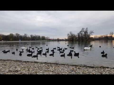 Swans and birds, Jarun lake, Zagreb, Croatia
