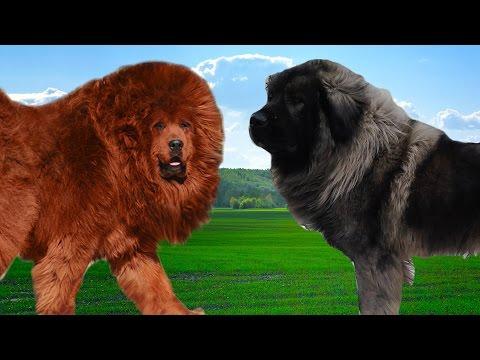 Tibetan mastiff vs Sarplaninac   Hiughlights
