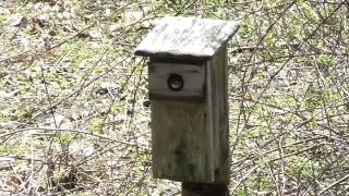 House Wren Nest-building, 5/1/14