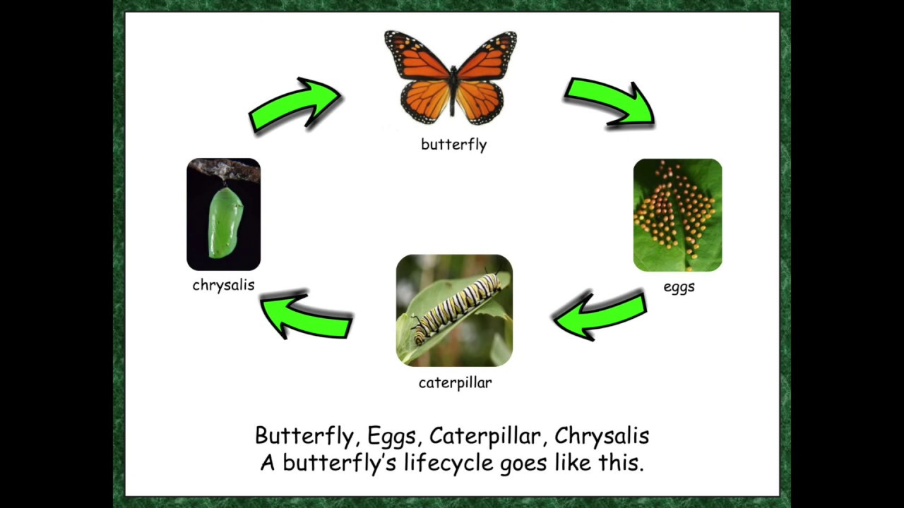 Life Cycle Of A Butterfly Youtube 6