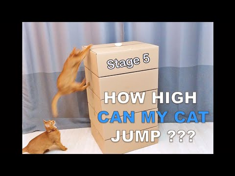How High Can My Cat Jump? (Cat vs Box)