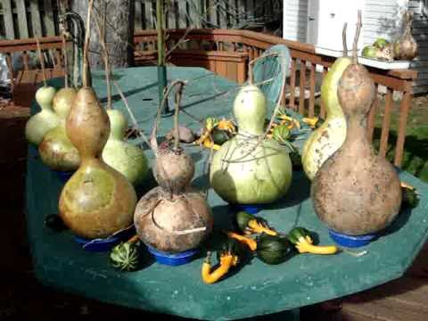 Birdhouse Gourds Maturing Hardening Curing Vs Rotting