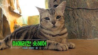 아메리칸숏헤어 '콩', 미국을 대표하는 고양이