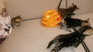 Продажа элитных бенгальских котят для ценителей этой породы