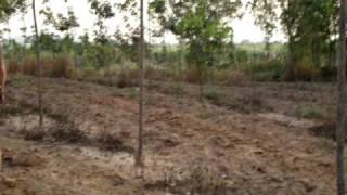 esan rubber tree 4