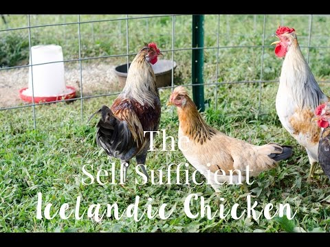The Self Sufficient Icelandic Chicken