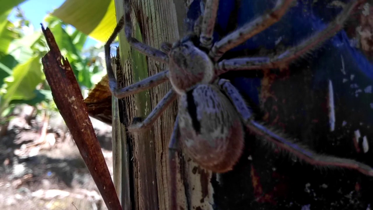 Giant Huntsman Spider - part 2 in the bananas, NSW Australia