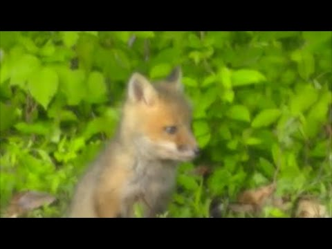 How to Enjoy Gardening with Foxes entertainment.