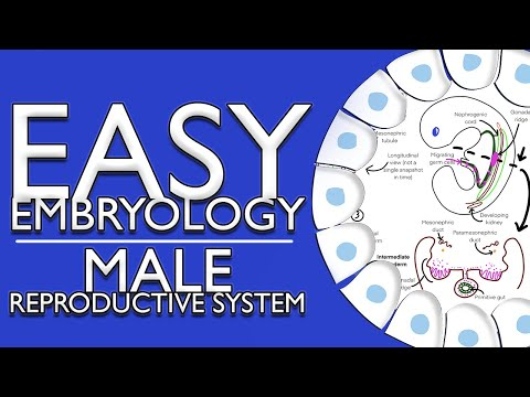Embryology Of The Male Reproductive System I (Easy To Understand)