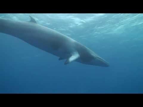 Minke Whale Watching Great Barrier Reef