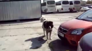 Собаки бывают кусачие