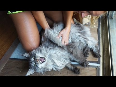 BIG MAINE COON CAT Black Silver GETS MASSAGE ▶ Maine coon meows, Funny Cat Meows Video