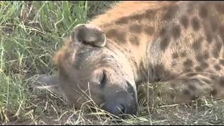 Hieny -dziki świat Afryki ,,Safari