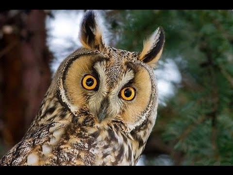 Народные приметы про сову