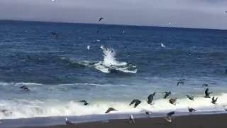 Whale Feeds Off Fish in Shallow Water