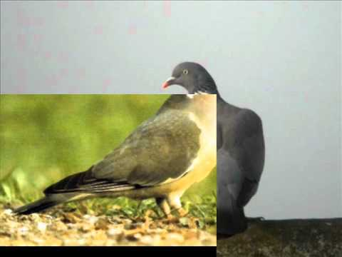chant pigeon ramier mp3