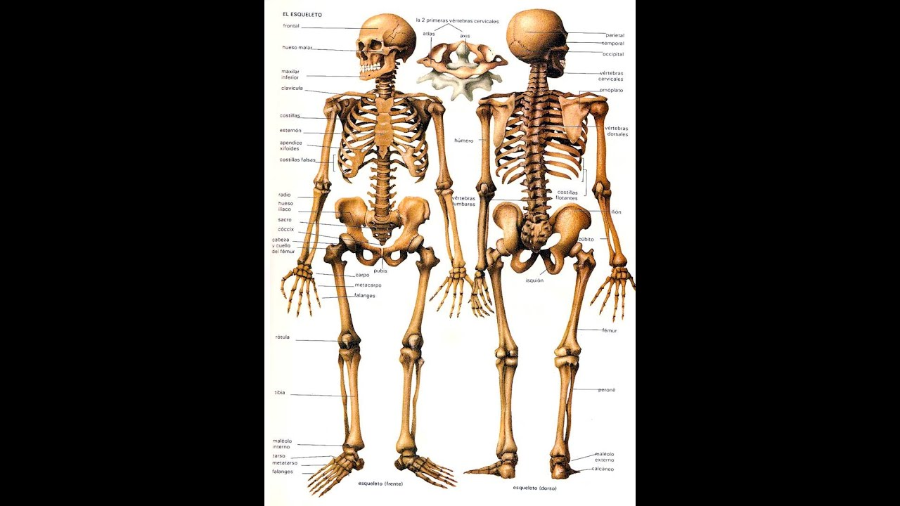 Cuantos Huesos Tiene El Cuerpo Humano - YouTube
