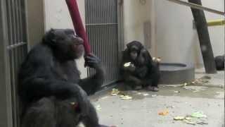 円山動物園のチンパンジーたち。 午後にリンゴをもらって食べていました...