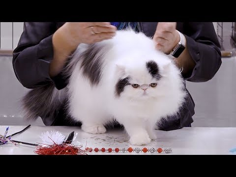 CFA International Cat Show 2018 - Persian kitten class judging - BiColors.1