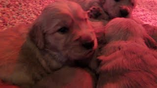 Golden Retriever Puppies, At 3 Weeks