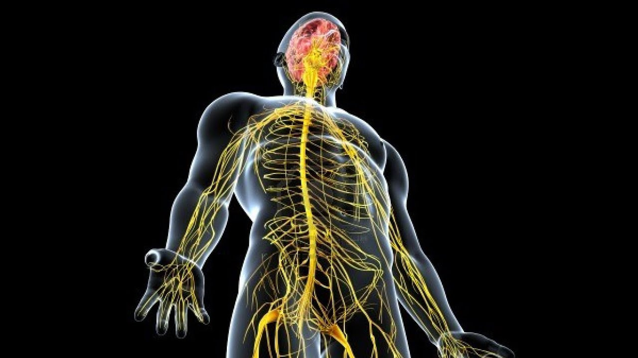 Endocrine And Nervous System Youtube