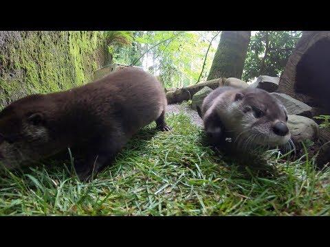 River Otter Pups Go Exploring