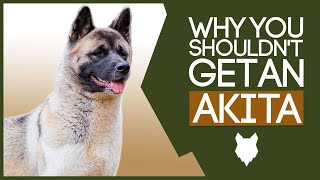 AKITA! 5 Reasons YOU SHOULD NOT Get a Akita Puppy!