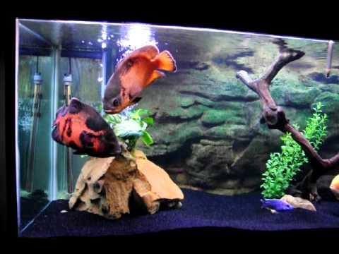 Watch on oscar fish tank size