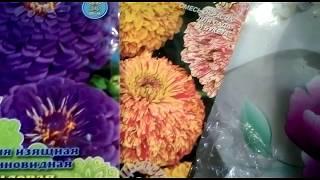 Цинния - одна из самых популярных садовых однолетников... Выращиваем рассаду.