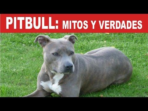 Pitbull: Mitos y Verdades de ésta hermosa raza de perritos | Tu Mascota TV